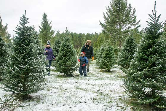 Snow on Fraser Fir Christmas tree field