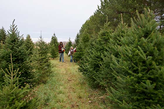 Fraser Fir Christmas tree field