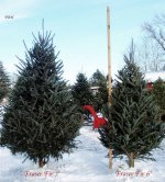Live Fraser Fir Christmas Trees