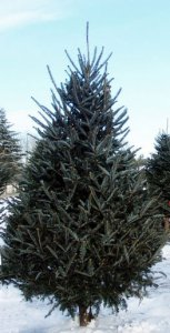 7' Fresh Live Fraser Fir Real Christmas Tree