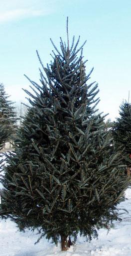 aeab2f362 Real Live Fresh Mail Order 8  Fraser Fir Christmas Trees